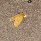 isabella moth aka woolly bear moth