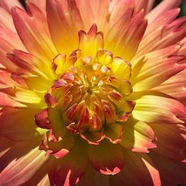 Center Shot by Janet Marsh - Flowers Single Flower ( dahlia, center, orange and yellow,  )
