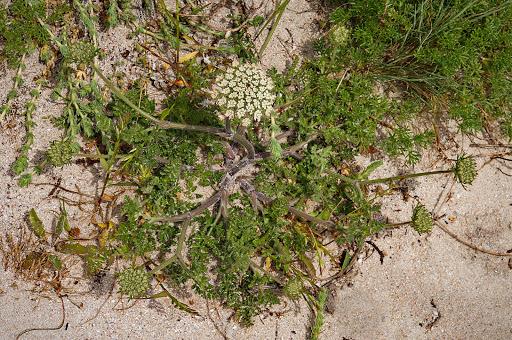 Daucus carota subsp. gummifer