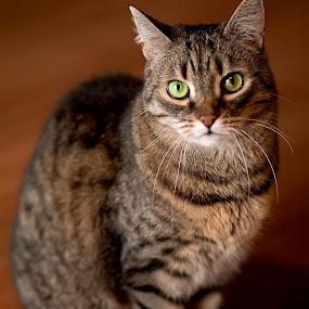 Fredzia by Aleksander Cierpisz - Animals - Cats Portraits ( cat, tabby cat, tabby )