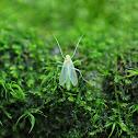 Green Midge