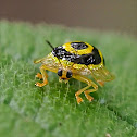 Ringed Tortoise Beetle / Golden Target Beetle