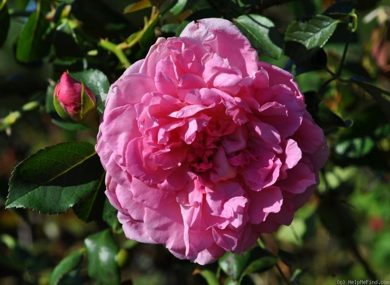 роза IMMORTAL JUNO