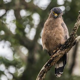That  Look by Sam's 1 Shot - Animals Birds ( crested, raptors, birds of prey, eagle, reserve, serpent, nagarhole, tiger )