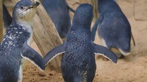 Penguins in Love thumbnail