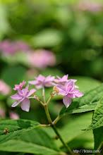 Photo: シーボルトが世界に紹介した日本のアジサイ「七段花」、(2014,05,24)
