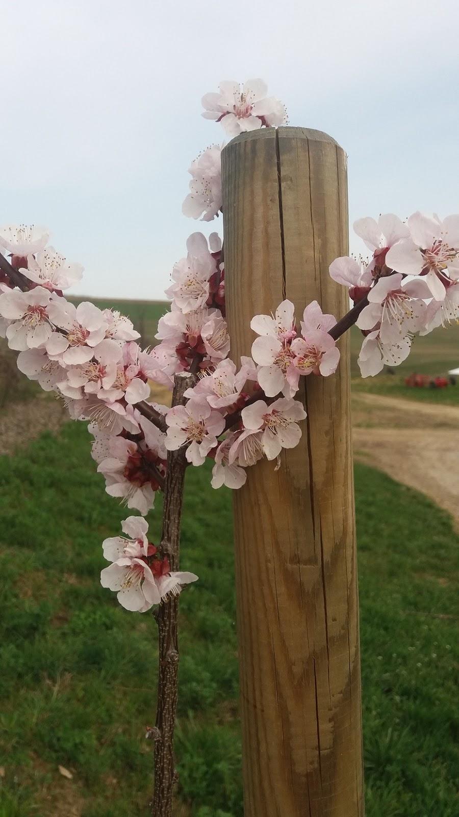 kvetoucí broskvoň.jpg