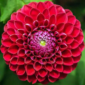 by Thomas Thain - Flowers Single Flower
