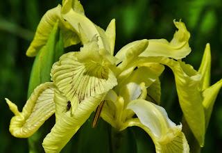Photo: Sumpfschwertlilie (Iris pseudacorus) in Seeufernähe 1