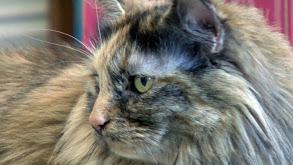 Bambino, Pixie Bob, Australian Mist, Domestic Longhair, Cats Gone Wild thumbnail