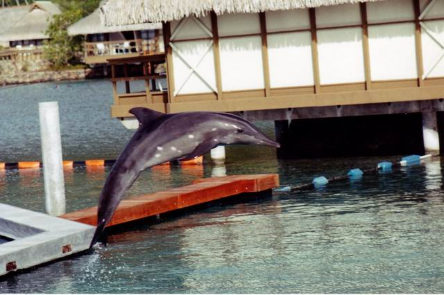 Photo: Dauphin au Dolphin Quest du Beachcomber de Moorea