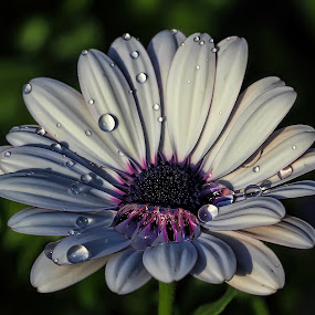 African daisy by Nikola Vlahov - Nature Up Close Flowers - 2011-2013 ( blue-eyed daisy, osteospermum, showy, nature, petals, african daisy, daisy, bokeh, close up, flower )