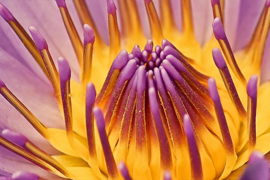 Water Lily  by Aditi Dinakar - Nature Up Close Flowers - 2011-2013 ( flora, violet, water lily, flower )