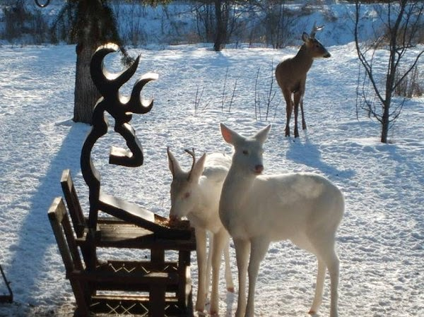 Rare albino deer spotted in Grayling Michigan