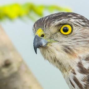 Shikra  by Suman Basak - Animals Birds ( nature, wildlife, raptor, prey, birds, eyes )