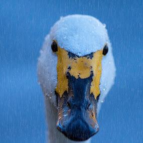 Rain again by John Kellaway - Animals Birds ( swan, raindrops, birds, close up, wildfowl, cygnus cygnus )
