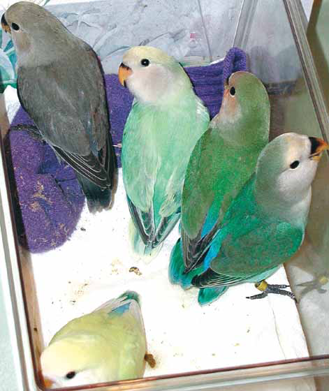 Lovebirds (Agapornis spp.) are best obtained from a reputable breeder who has not concentrated on developing mutations and has paid more attention to their long-term health