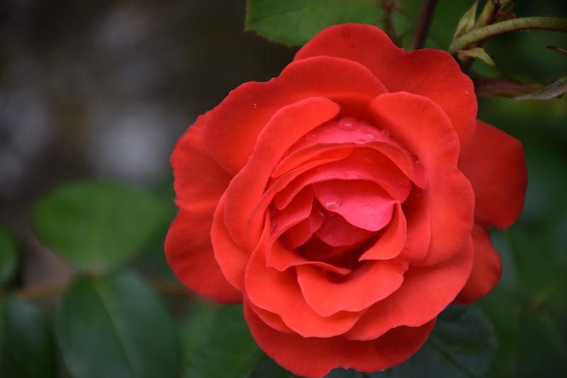 rosea rugiada di lolyloly64