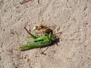 Photo: Czy ktoś rozpozna gatunek tego drapieżnego owada?