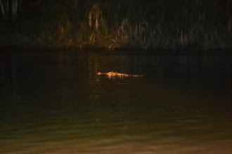 Photo: Crocodile spotted at night
