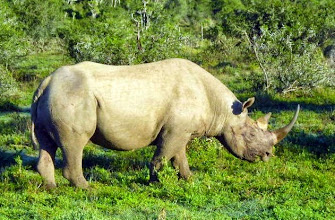 Photo: Black rhinoceros