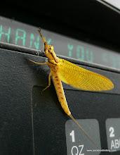 Photo: Cool mayfly (sp?), East Texas