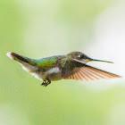 Ruby-throated hummingbird (females in flight)