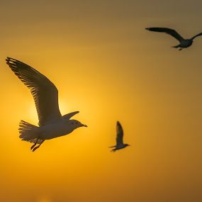 Seagulls and Sunset. by John Greene - Animals Birds ( sunset and birds in flight, silhouette, sunset, seagulls, birds in flight )