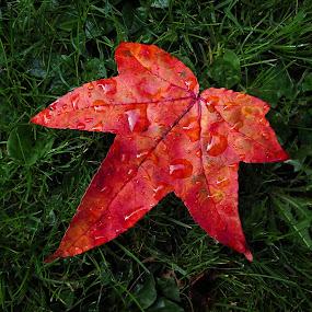 Gum Tree Leaf by Dan Horton-Szar ARPS - Nature Up Close Leaves & Grasses ( home, red, autumn, garden macro, leaf, canon powershot s95,  )