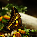 Eastern Giant Swallowtail