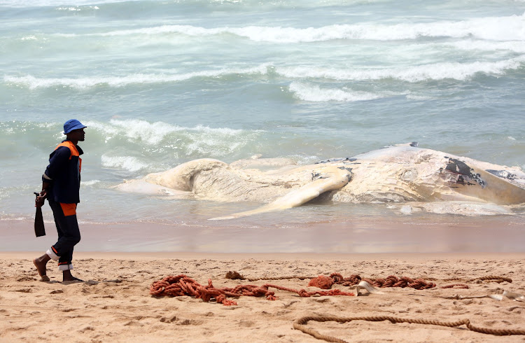 Officials work on removing a Humback Whale carcass that washed up on Umhlanga's premier beach in front of the Beverly Hills and Oysterbox hotel on October 20 2018