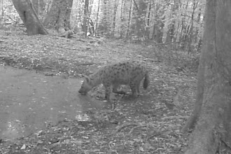 Photo: A Hyena came down to drink!
