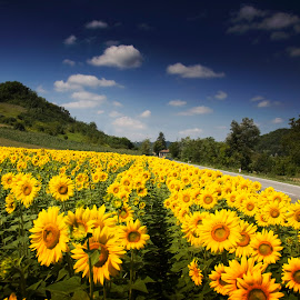 Sunflowers by Alessandro Calzolaro - Landscapes Prairies, Meadows & Fields ( countryside, nature, sunflowers, summer, sun,  )