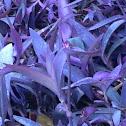 Purple Heart Flower