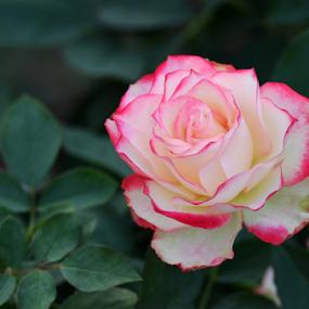 Rose In The Garden by Ajay Halder - Flowers Single Flower ( rose, colorful, kolkata, garden, eco )
