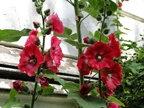 Photo: Samtens - Blumen an der Hauswand