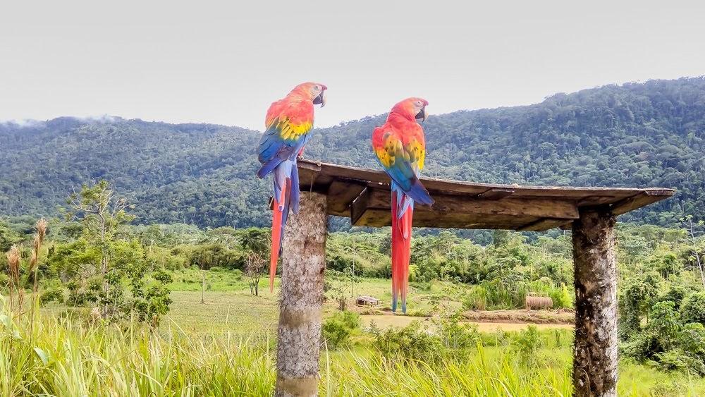 macaws in manu national park amazon rainforest peru south america