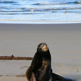 Basking Sea Lion by Trisha Wymore - Animals Sea Creatures