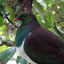 New Zealand Pigeon/Kereru