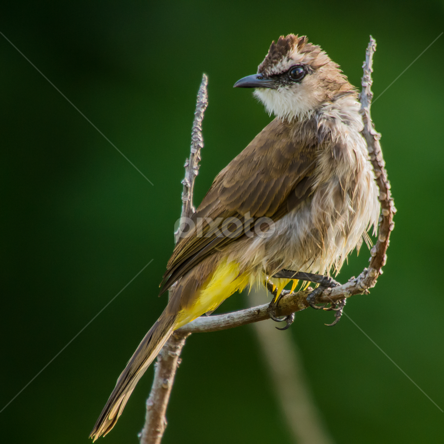 Yellow by Mahdi Hussainmiya - Animals Birds ( yellow vented bulbul, pwctaggedbirds, bird posing on a branch outside my window, brunei )