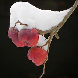 crvene jabuke by Dunja Kolar - Nature Up Close Other plants ( maksimir, croatia, crvene jabuke, zagreb )