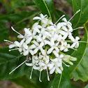 Pavetta, the 'butterfly bush'