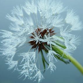 A Tuff Wish by Jermaine Pollard - Nature Up Close Flowers - 2011-2013 ( #flower #outdoor #bloom #beautiful #dandelion )