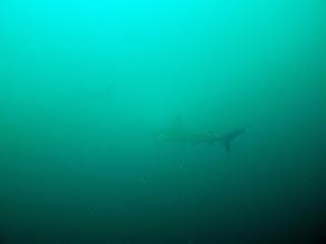 Photo: Galapagos sharks