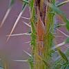 Italian Tree Cricket