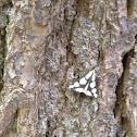 Confused Haploa Moth