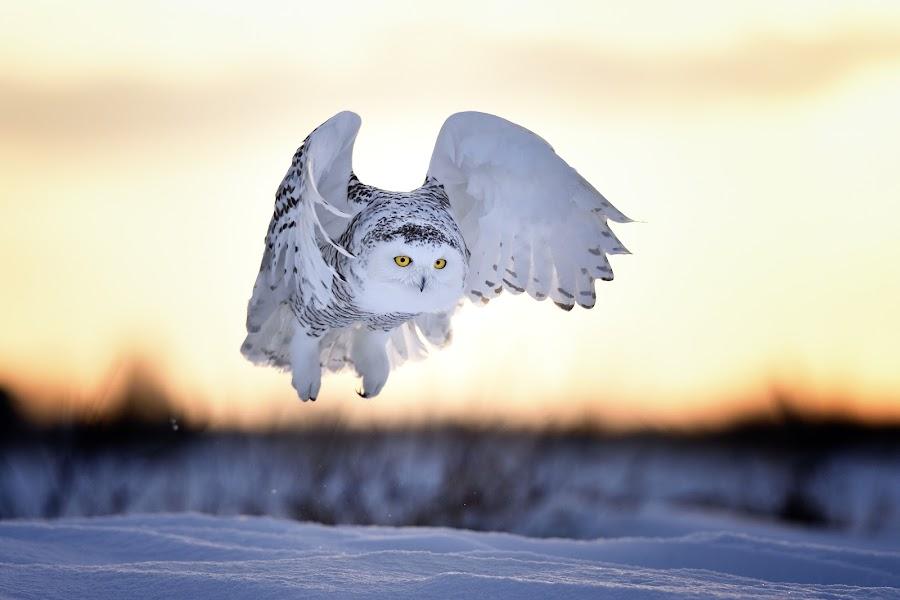 Sunset Owl by Olav Thokle - Animals Birds ( winter, canada, sunset, owl, wildlife, ottawa, white owl, snowy owl )