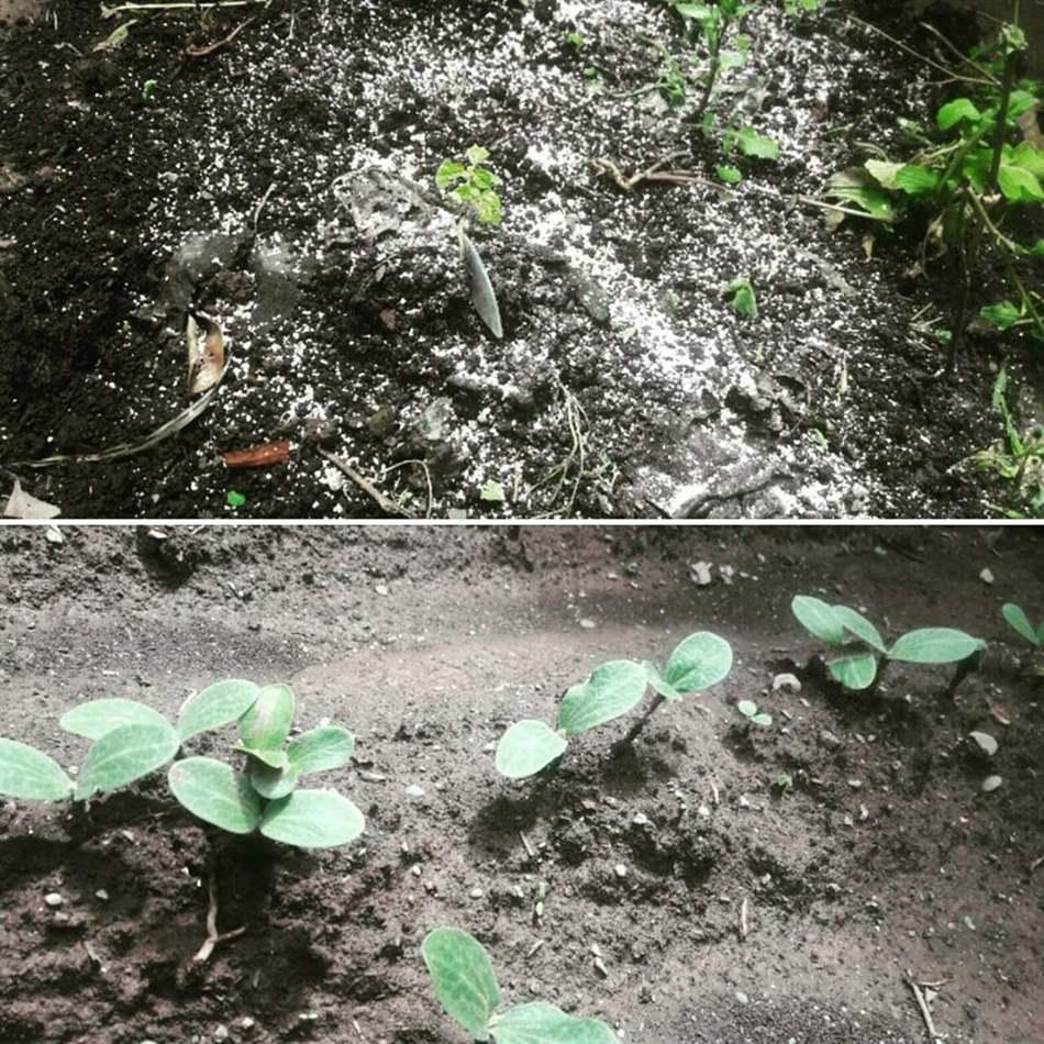 trồng bí đỏ vào tháng mấy