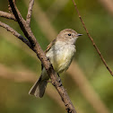 Bagageiro(Mouse-colored Tyrannulet)