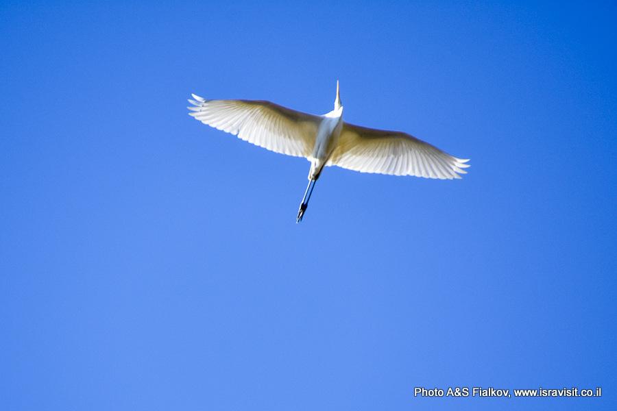 Белая цапля. Национальный парк а-Хула. Израиль.